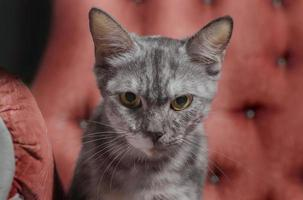 gato malhado cinza em uma cadeira vermelha foto