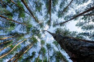 pinheiros altos no céu e nuvens foto