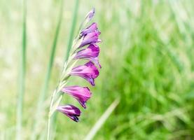 flores roxas em um campo verde foto