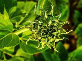 campo de girassol na natureza foto