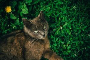 gato deitado na grama