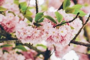 flores rosa em uma árvore