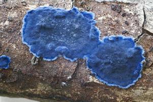 fungo da crosta de cobalto, terana caerulea, propagação de veludo azul e pulcherricium caeruleum foto