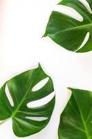 folhas de monstera em fundo branco foto