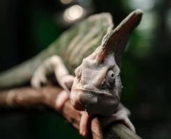 close-up de um camaleão em um galho foto