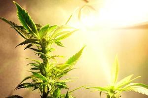 arbusto de maconha sob lâmpadas de iluminação artificial foto