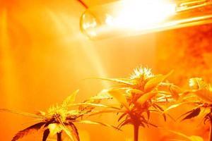 cultivo de cannabis dentro de casa sob lâmpadas artificiais de luz amarela foto