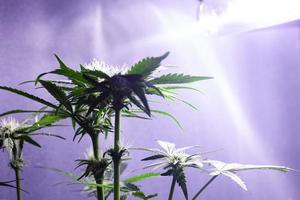 cultivo de cannabis em ambientes fechados sob lâmpadas de luz artificial foto