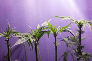 cultivo de plantas de cannabis em ambientes fechados com iluminação artificial foto