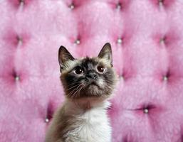 close-up de um gato marrom e castanho foto