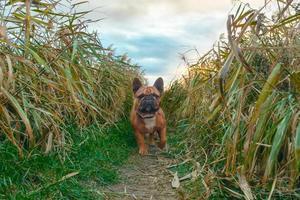 bulldog francês em um campo foto