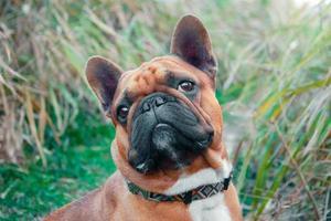 bulldog francês lá fora foto