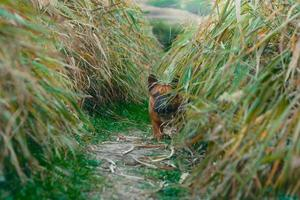 bulldog francês escondido na grama foto