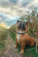 bulldog francês sentado em um campo foto