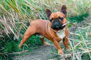 vista de um bulldog francês do lado de fora foto