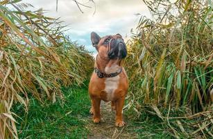 bulldog francês caminhando por um caminho em um campo foto