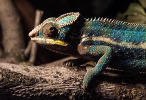 camaleão colorido em um galho foto