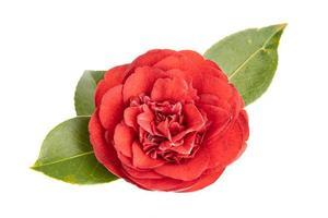florescer totalmente a flor da camélia vermelha e as folhas isoladas no fundo branco foto