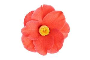 florescer totalmente flor de camélia vermelha com estame amarelo e pistilos isolados no fundo branco foto