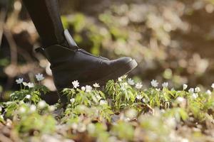 a bota de uma mulher atropela uma flor jovem de anêmona. conceito de esperanças pisoteadas, vandalismo e protesto, privação da beleza virgem e inocência, desrespeito e sonhos desfeitos, violência contra a natureza.