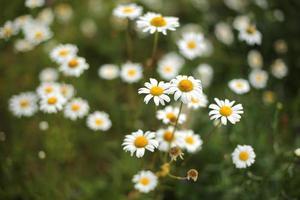 para fotos camomiles de verão em um prado. lindas camomilas brancas em um fundo verde
