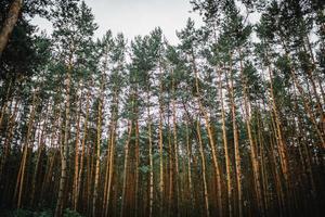 fundo da floresta. uma floresta de pinheiros fascinante.