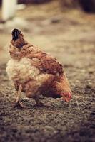 retrato de frango marrom em pé no chão. galinha comendo grama em um pasto no quintal no verão foto