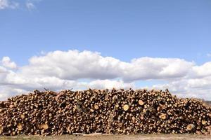 vista lateral de madeira comercial, toras de pinheiro após corte raso da floresta. desmatamento descontrolado. foco seletivo foto