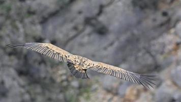 abutre-grifo - gyps fulvus, creta foto
