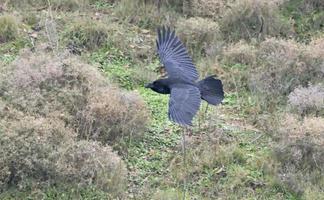 raven - corvus corax, creta foto