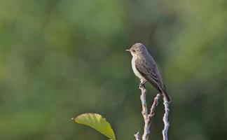 spotted flycatcher - muscicapa striata, creta, grécia foto
