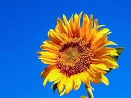girassol brilhante e céu azul foto