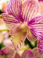 orquídea rosa listrada