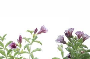 flores roxas em um fundo branco foto