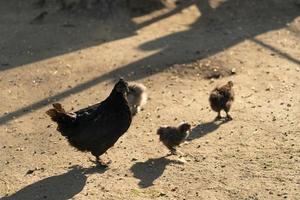 galinhas retroiluminadas e pintinhos na terra foto