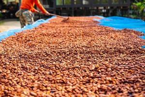 secagem de grãos de cacau orgânico foto
