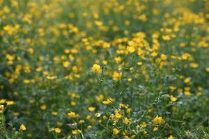 canteiro de flores amarelas do botão de ouro na grama verde foto