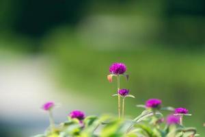 close-up de flores roxas com um fundo verde desfocado