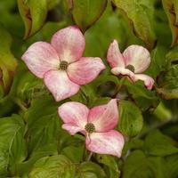 flores rosa cornus kousa foto