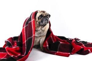 cão pug fofo coberto com manta vermelha e preta foto