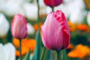 tulipas rosa e vermelhas no jardim na primavera foto