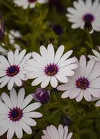 lindas flores brancas no jardim na primavera foto