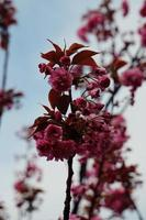 linda planta de flor rosa no jardim na primavera foto