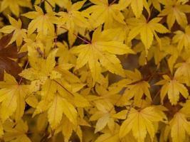 folhas de acer amarelas foto