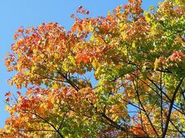 folhas de maple outono foto