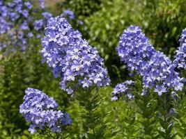 Flox azul florescendo em um jardim foto