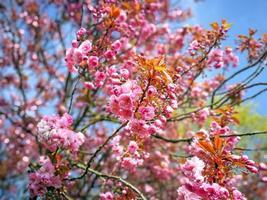 flores de cerejeira rosa foto
