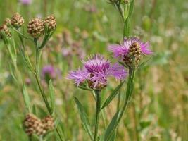 Centáureas fofas de flores silvestres em um prado verde foto