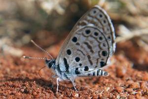 borboleta topázio babul azul foto