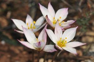 cretan tulip- tulipa cretica, uma planta endêmica de creta foto
